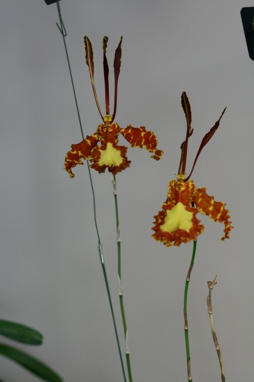 orchid13