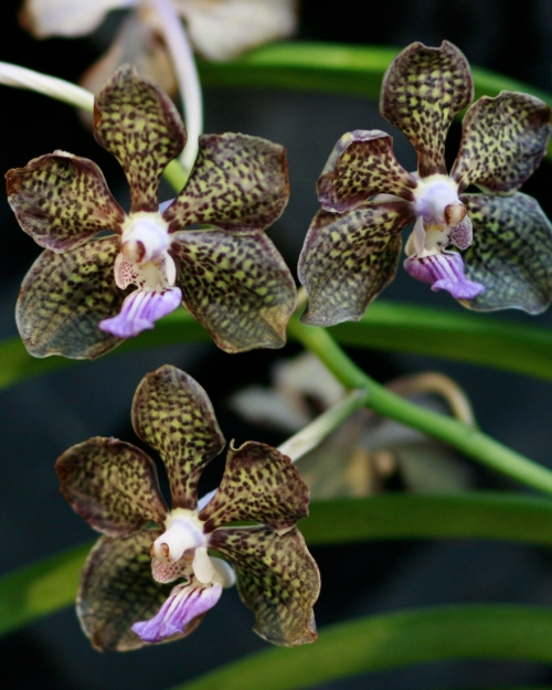 orchid20