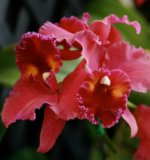 orchid21