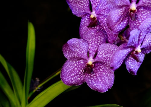 orchid24