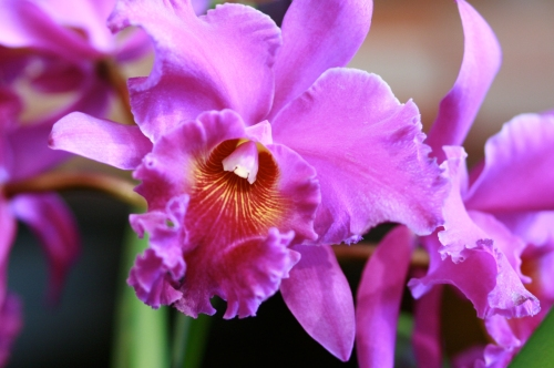 orchid32