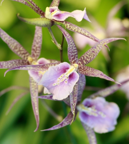 orchid33